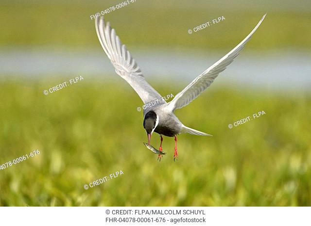 Whiskered Tern (Chlidonias hybrida) adult, breeding plumage, in flight, with Northern Pike (Esox lucius) fry in beak, Danube Delta, Tulcea, Romania, May