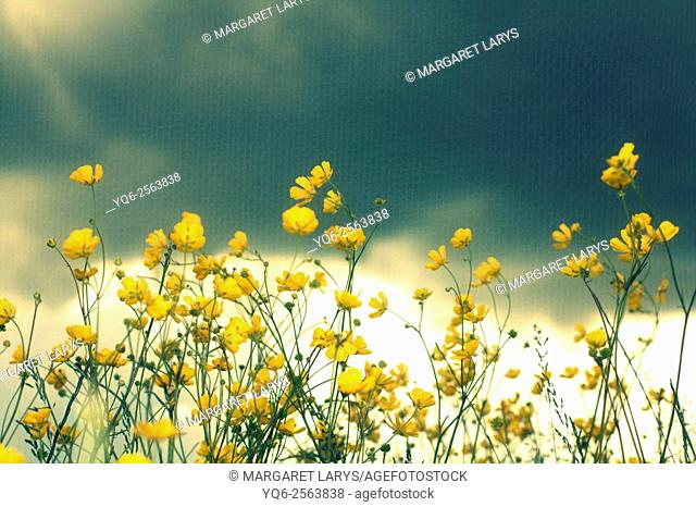 Soft focus of beautiful buttercups flowers, romantic background