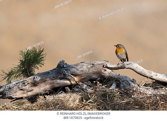 European Robin (Erithacus rubecula), Terfener Forchat, Terfens, Tyrol, Austria, Europe