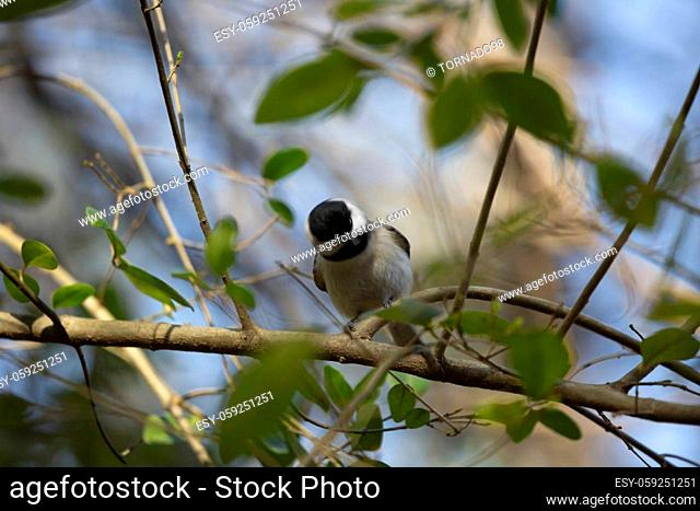 Black-capped chickadee (Poecile atricapillus) shaking its head on a branch