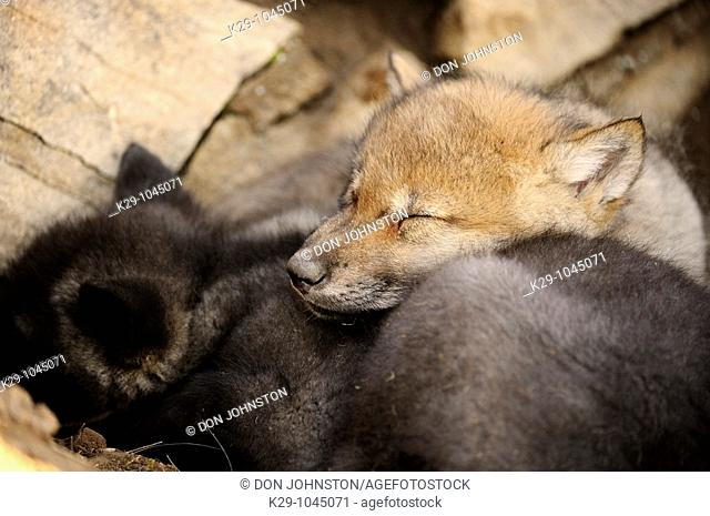 Gray wolf Canis lupus babies