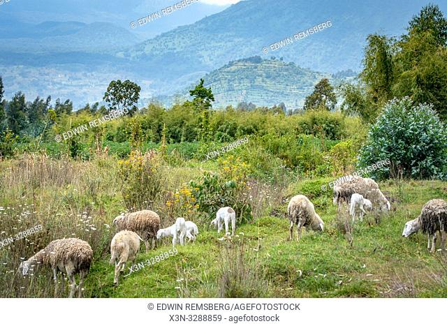 Sheep grazing in open field with hill landscape in the distance, Kinigi, Rwanda