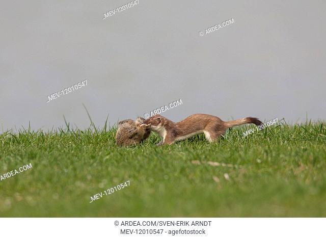 Stoat / Ermine - adult with killed Suslik / European Ground Squirrel - Austria