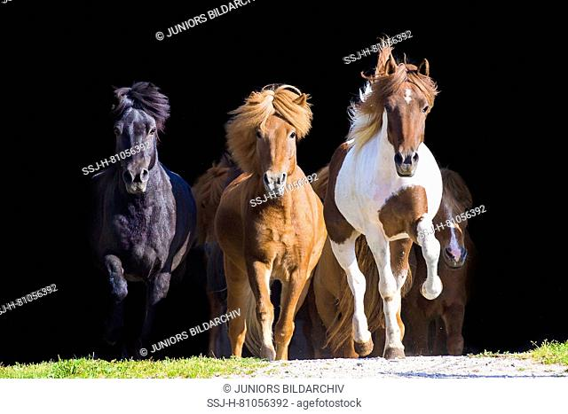 Icelandic Horse. Herd galloping towards the camera. Austria