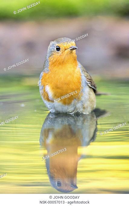 European Robin (Erithacus rubecula) bathing in a pool, England, Essex
