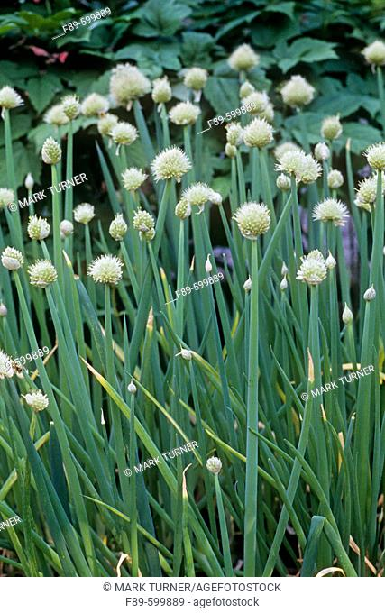 Welsh Onion (Allium fistulosum). UW Medicinal Herb Garden, Seattle, WA