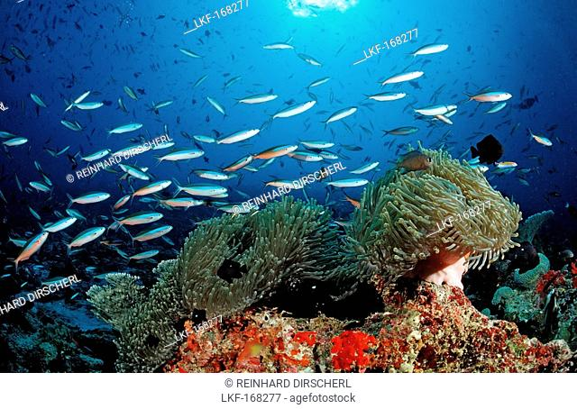 Schooling Neon Fusiliers and Magnificent Anemone, Pterocaesio tile, Heteractis magnifica, Maldives, Indian Ocean, Meemu Atoll