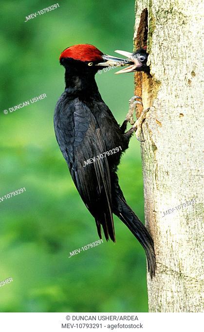 Black WOODPECKER - Male feeding offspring at nest entrance (Dryocopus martius)