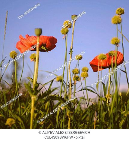 Field with red poppies against blue sky, close up