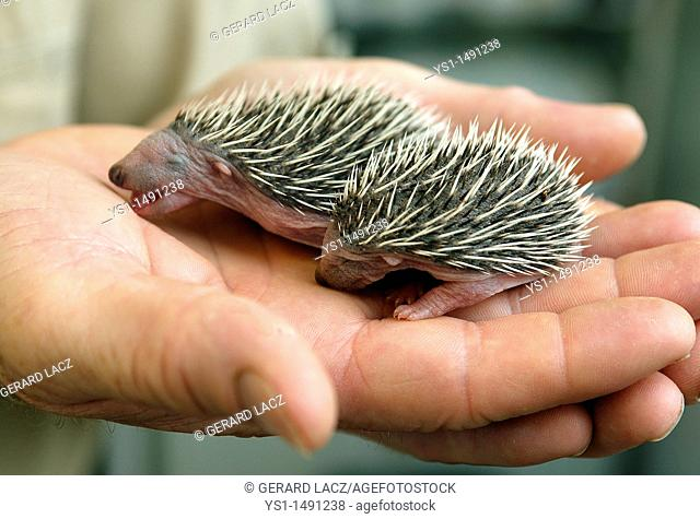 European Hedgehog, erinaceus europaeus, Babies rescued at La Dame Blanche, a Wildlife Protection Center in Normandy