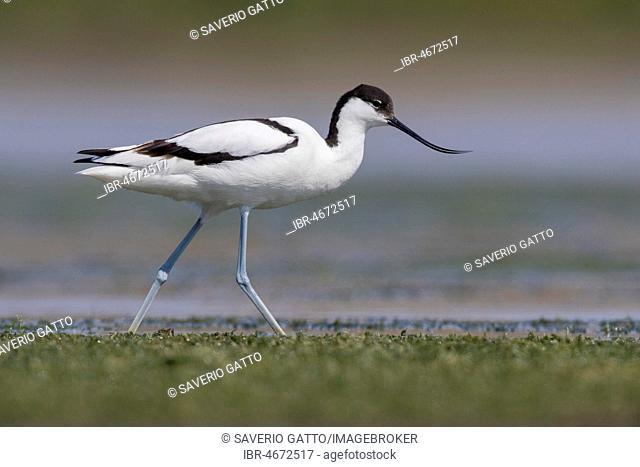 Pied Avocet (Recurvirostra avosetta), adult walking in a swamp, Campania, Italy