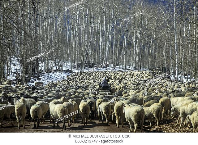 A large herd of sheep are led through a country road in Southern Utah