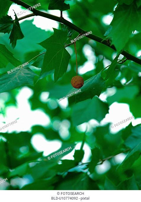 tree, plant, fruit, leaf, film