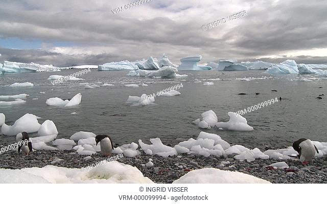 Gentoo penguins Pygoscelis papua on beach, more in water, nice ice shapes in background. Cuverville Island, Antarctic Peninsula