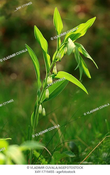 Angular Solomon's-seal Polygonatum odoratum, location: Male Karpaty, Slovakia