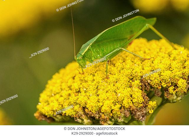 True Katydid (Pterophylla camellifolia) resting on yellow yarrow flower in garden, Greater Sudbury, Ontario, Canada