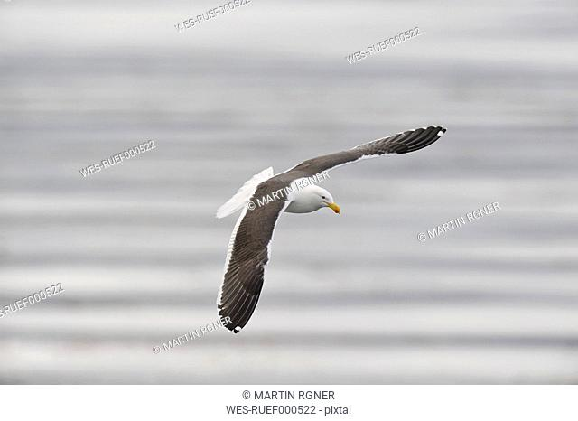 South America, Argentina, Ushuaia, Tierra Del Fuego, Kelp gull flying over water