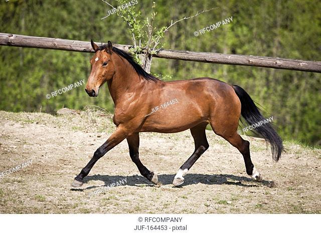 Przedswit horse - walking