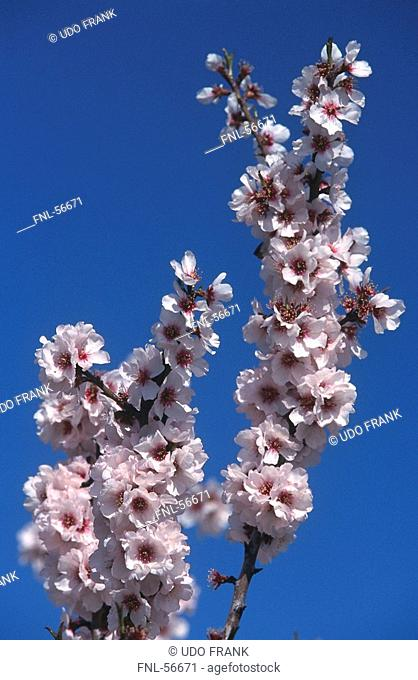 Low angle view of flowers blooming on almond tree, Majorca, Balearic Islands, Spain
