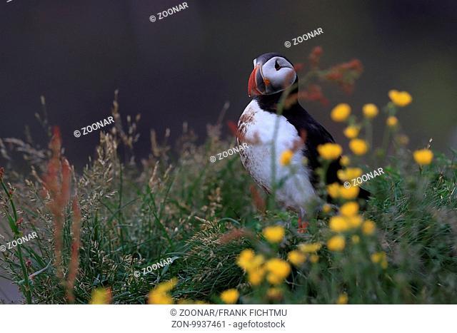 Papageitaucher Iceland
