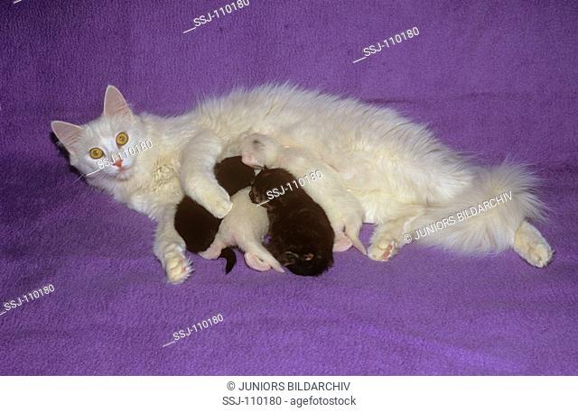 turkish angora - catfeeding kittens