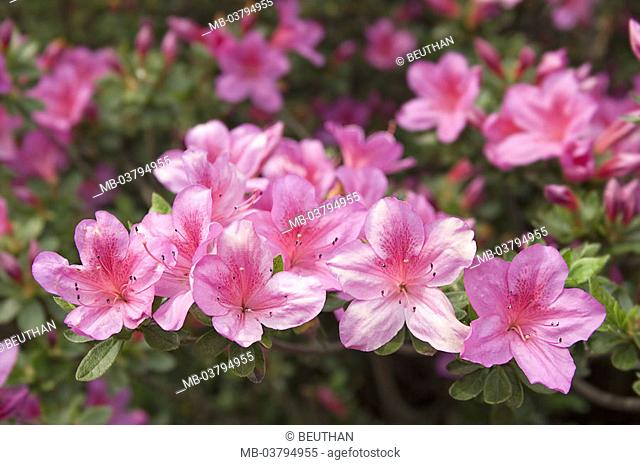 Ornament shrub, azalea, detail, blooms,  pink   Switzerland, Tessin, botanical garden San Grato, bloom splendor, flora, plants, colors, azalea blooms, azaleas