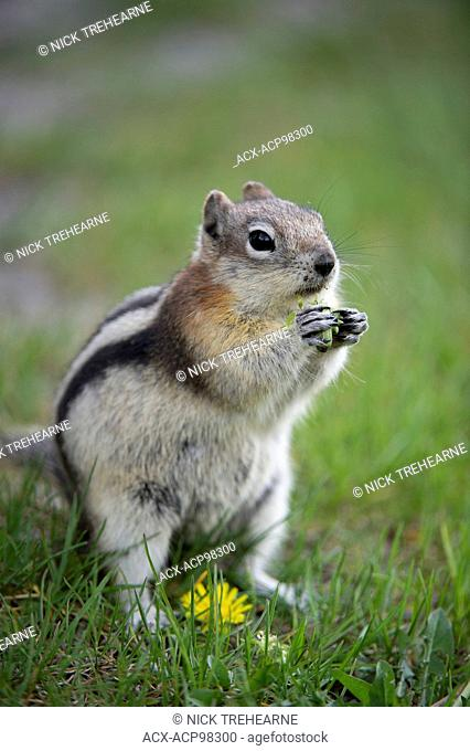 Golden-mantled Groundsquirrel, Callospermophilus lateralis, Rocky Mountains, Alberta, Canada