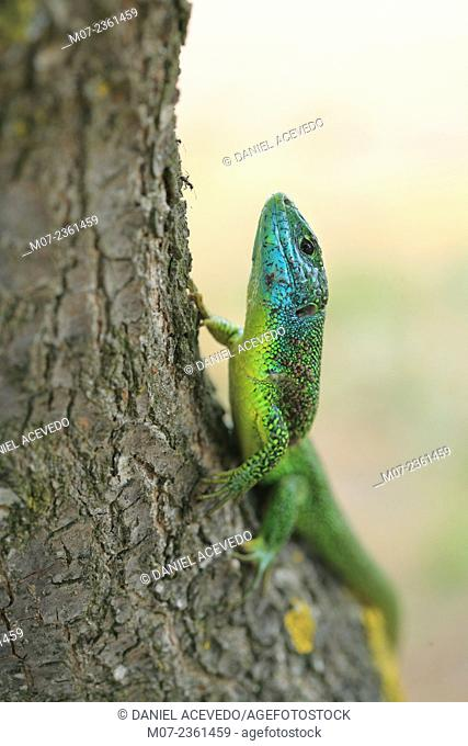 Lacerta viridis, Spain, Europe European green lizard