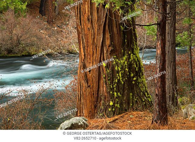 Incense cedar by Metolius Wild and Scenic River, Deschutes National Forest, Oregon