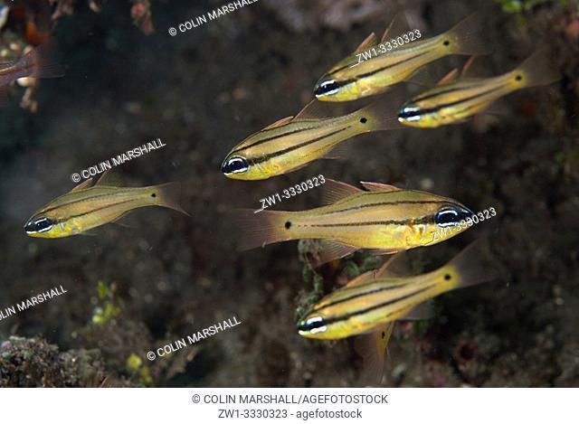 School of Spotgill Cardinalfish (Apogon chrysopomus, Apogonidae family), Joleha dive site, Lembeh Straits, Sulawesi, Indonesia