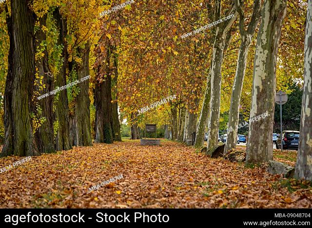 Tree avenue in the autumn with colorful leaves