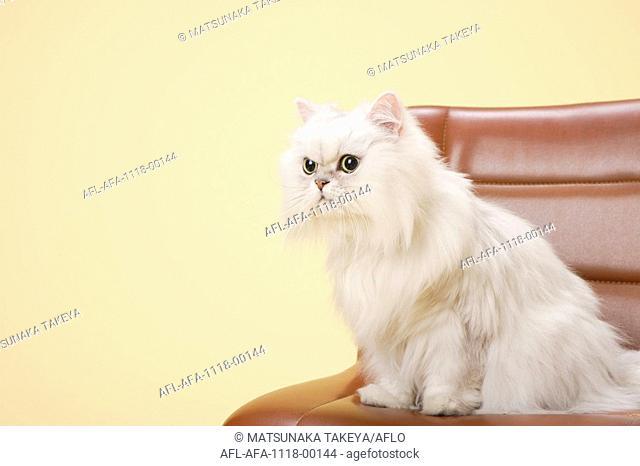 Chinchilla Silver Persian Cat