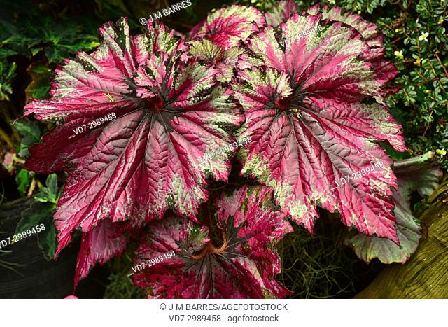 Begonia (Begonia rex) is an ornamental plant with very beautiful leaves