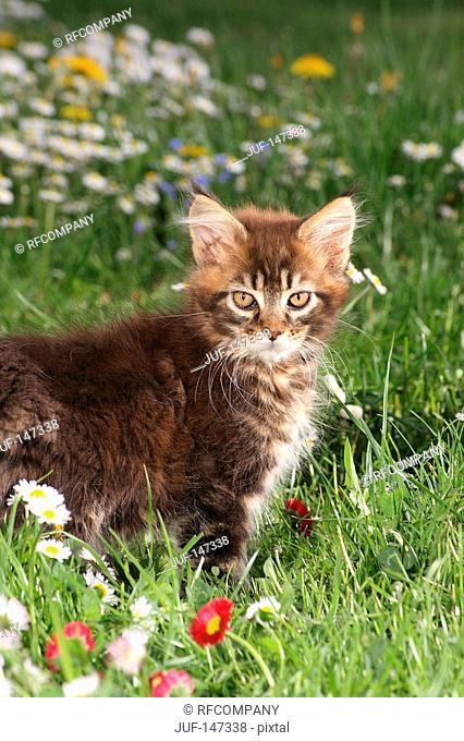 maine coon kitten - standing on meadow