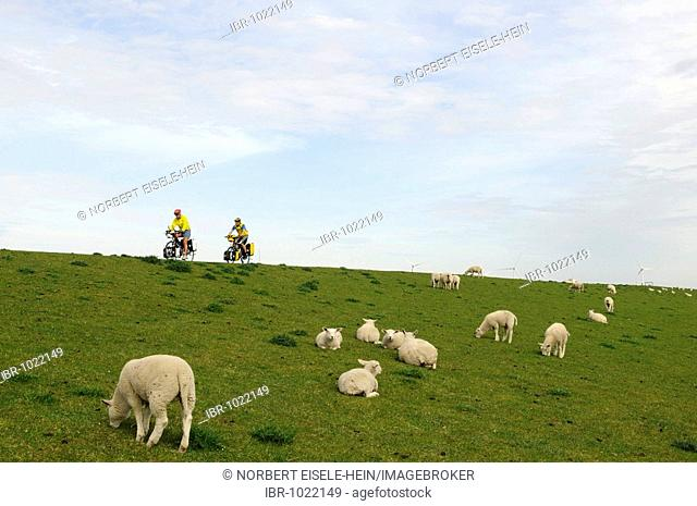 Cyclists and sheep on a dike by Hamburger Hallig, North Frisia, North Sea, Schleswig-Holstein, Germany, Europe