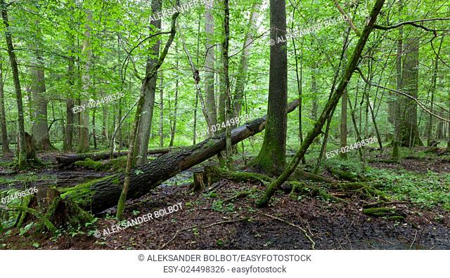 Wet deciduous stand in springtime with standing water rain after in foreground, Bialowieza Forest, Poland, Europe