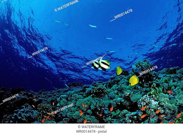 Coral Reef with Butterflyfishes, Henoiochus Acuminatus, Chaetofon semilarvatus, Marsa Alam, Red Sea, Egypt