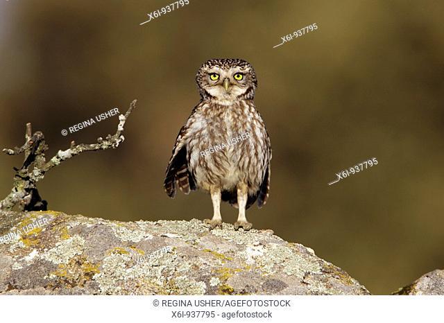 Little Owl Athena noctua - perched on boulder, alert, Alentejo region, Portugal