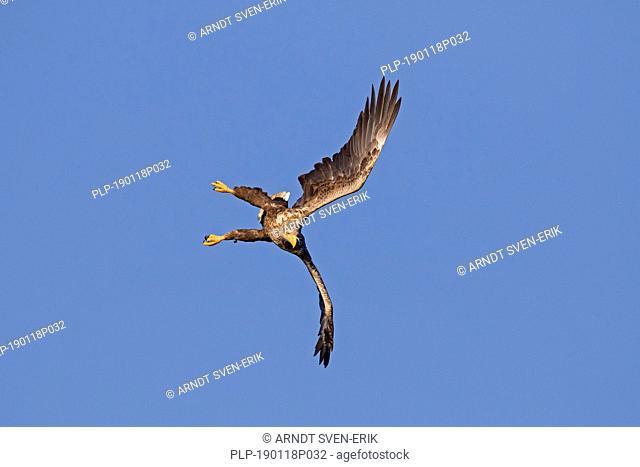 White-tailed eagle / sea eagle / erne (Haliaeetus albicilla) in flight diving against blue sky (sequence 2/4)