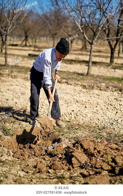 Senior man digging a hole to plant a plum tree in an orchard on springtime