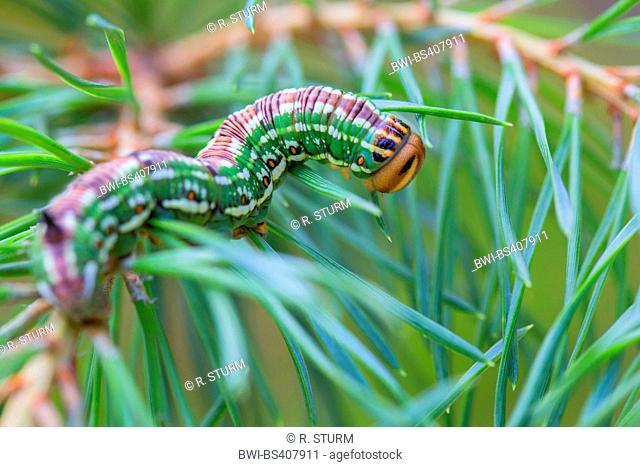 pine hawkmoth (Hyloicus pinastri, Sphinx pinastri), caterpillar feeds on pine twig, Germany, Bavaria