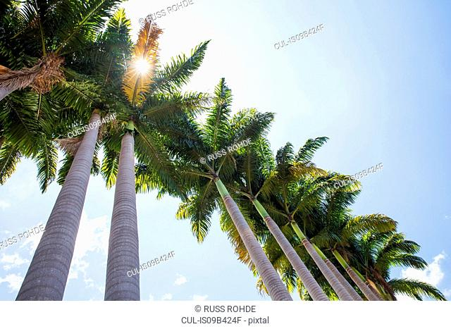 Low angle view of sunlit palm trees and blue sky, Reunion Island