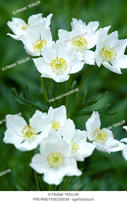 Narcissus-flowered anemone, Anemone narcissiflora / Narzissen-Windröschen, Anemone narcissiflora
