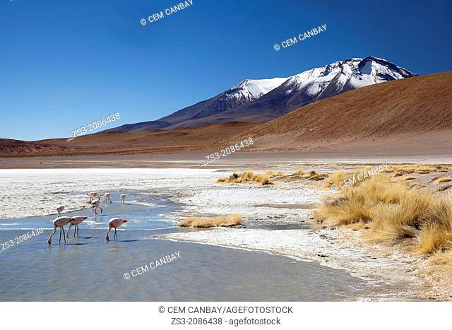 Flamingos on Laguna Canapa, Salar de Uyuni, Bolivia, South America