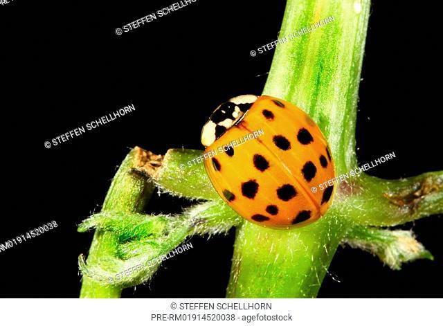 Asian lady beetle, Harmonia axyridis