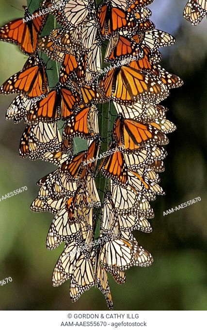 Monarch butterflies (Danaus plexippus) clustering at a winter roost, Pismo Beach, CA