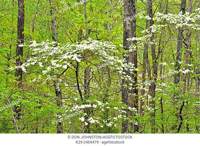 Hardwood forest with flowering dogwood, Buffalo National River, Arkansas, USA