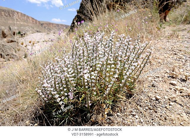 Prickly thrift (Acantholimon ulicinum) is a cushion-like shrub native to eastern Europe and Turkey. This photo was taken in Cappadocia, Turkey