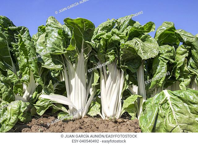 Magnificent chard plants at organic farm, Spain. Low angle view closeup