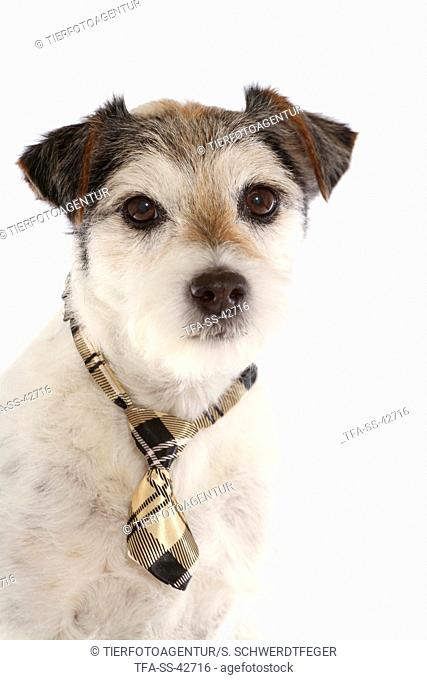 Parson Russell Terrier Portrait